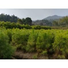 湿地松小苗、深山含笑小苗、马褂木小苗、香樟小苗