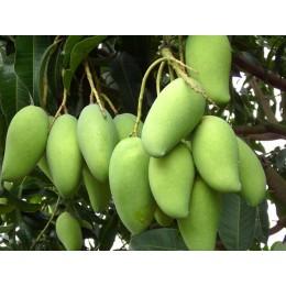 供应玉林芒果苗厂家  广西芒果树产地