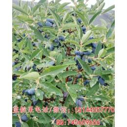 蓝靛果苗 蓝丰蓝靛果苗 蓝靛果忍冬苗 耐寒零下50度 水果新品种