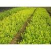 大量供应现货造林小苗,青枫,红枫,红叶石楠,紫薇,桂花,茶花