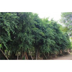 专业供应小叶榕1-10公分大叶榕广西榕树场