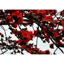 供应广西木棉苗木棉树简介 多规格品种美丽木棉