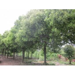 供应香樟芳樟二至九公分广西樟木基地
